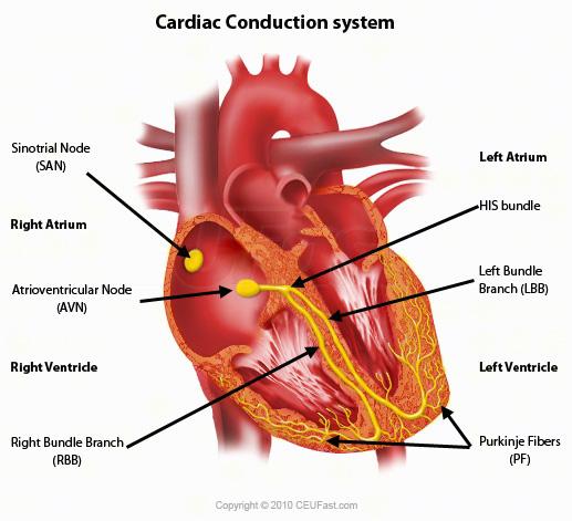 ECG Interpretation Cardiac Electrical Activity