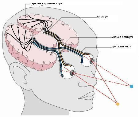Зрението като фунция на мозъка