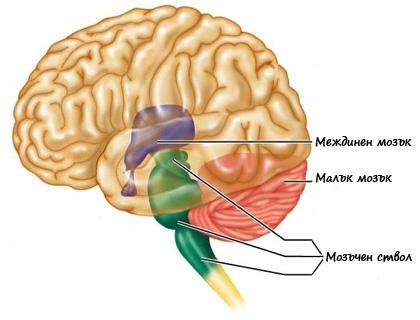 Междинен мозък
