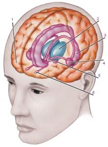 Хипоталамус – център на настроението, спането, яденето, пиенето и …
